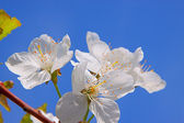 White apricot blossoms — Stock Photo