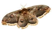 Mariposa hermosa polilla gigante de seda — Foto de Stock