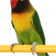 beautiful green parrot lovebird — Stock Photo