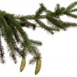 Bare branch of Christmas fir tree — 图库照片 #34551301
