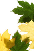 Green and yellow maple leaf — Stock Photo