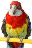 Grote kleurrijke parrot — Stockfoto