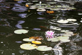 Pink lily on the water — Stock Photo