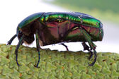 Rose chafer crawling on a branch — Stock Photo