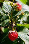 新鲜草莓 — 图库照片