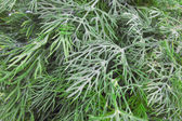 Dill background — Stockfoto