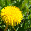 Stock Photo: Yellow dandelion