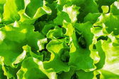 Garden bed with green lettuce leaves — Stock Photo