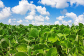 Field of young soybean plants — Stock Photo