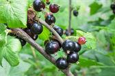 Rijpe zwarte krenten branch — Stockfoto