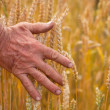 Wheat ears and hand — Foto de Stock