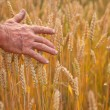 Wheat ears and hand — Stock fotografie
