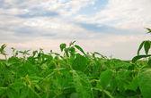 Soybean field — Foto de Stock