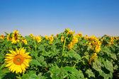 Sunflower field — Stockfoto