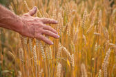 Wheat ears and hand — Stok fotoğraf