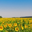Stock Photo: Sunflower field