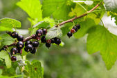 Currants branch — Stock Photo