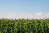 Corn — Stockfoto