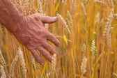 Wheat ears and hand — 图库照片