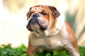 English Bulldog — Foto de Stock