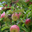 Stock Video: Apple harvest