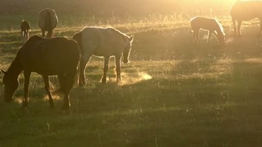 Horses in the early morning — Stock Video