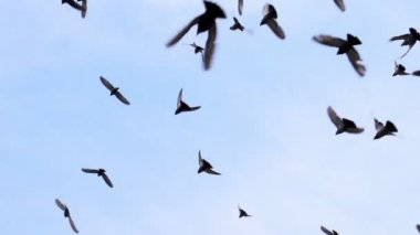 Large Flock of Birds — Stock Video