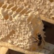 Bee and Honey — Stock Video