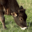 Calf grazing on a green spring meadow — Stock Video