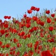Poppies on a background of blue sky slowly sway in wind — Stock Video