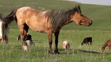 Przywódca stada. piękny koń trzęsie jego grzywa. — Wideo stockowe