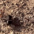 Group of ants attacked a large beetle — Stock Video #48125965
