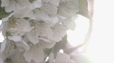 Solar Bloom. Cherry flowers — Stock Video