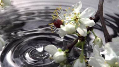Blossoming cherry branch and  ladybug — Stock Video