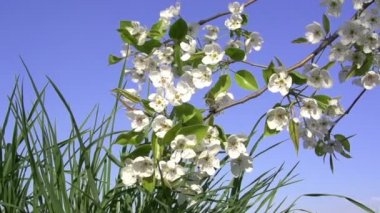Flowering Branch Over Grass. — Stock Video