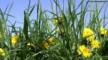 Dandelion meadow in bloom — Стоковое видео
