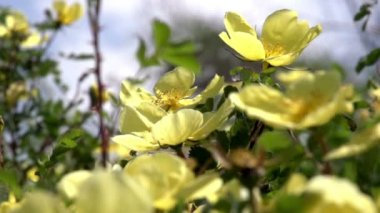 Large yellow mountain roses — Stock Video