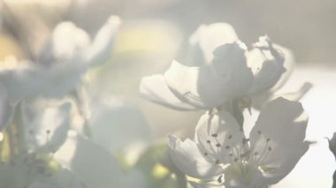 Flowers blossoming pear — Stock video