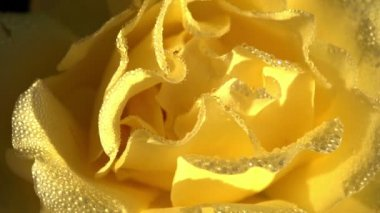 Yellow Rose in Dewdrop — Stock Video
