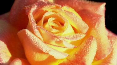 Orange Rose in Dewdrops — Stock Video