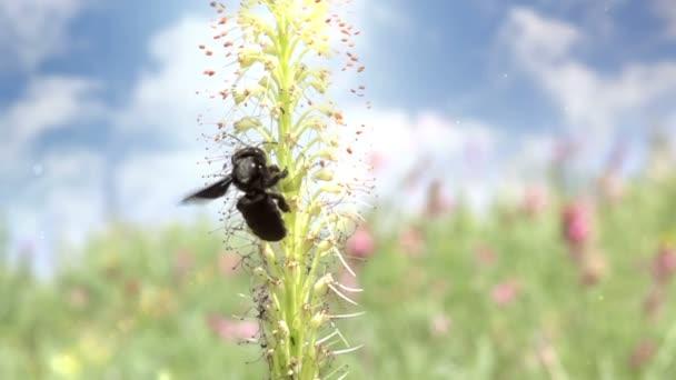 Abeja carpintero negro vuela — Vídeo de stock
