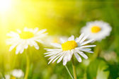 Daisy flower in grass — Stock Photo