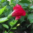 Time lapse of hibiscus flower at morning. — Stock Video
