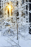 Sunrise in snow winter forest — Stock Photo