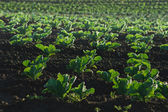Lettuce plantation details — Stock Photo