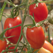Pear tomatoes on branch - Stock Photo