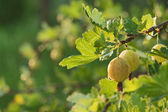 Gooseberry on branch — Stock Photo