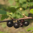 Stock Photo: Blackcurrant on branch
