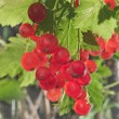 Stock Photo: Red currant bunch