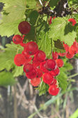 Red currant bunch — Stock Photo